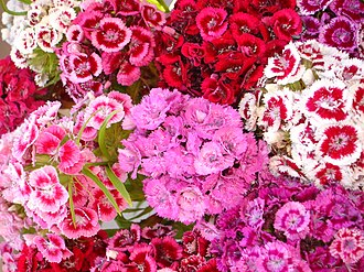 Dianthus barbatus - Image: June Summer Flowers