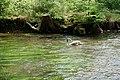 Junger Schwan im Flutenden Wasserhahnenfuß.jpg