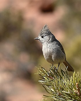 Juniper Titmouse2.jpg