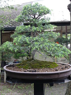 Juniperus communis 01 by Line1.jpg