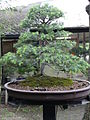 Juniperus communis 01 by Line1.jpg