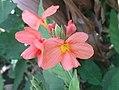 K.Pudur Village Firecracker Flower 2.jpg
