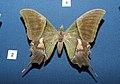 Kaiser-i-Hind Teinopalpus imperialis DSCN9008 (1).jpg