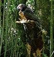 Kaka feeding on dead tree.jpg