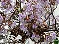Kapselfrüchte und Blüten Blauglockenbaum.JPG