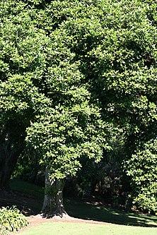 Karaka Tree Wikipedia