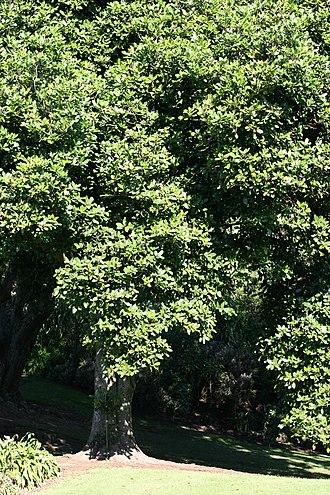 Karaka (tree) - Mature tree showing trunk and foliage