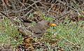 Karoo Thrush (Turdus smithi) (32687497421).jpg