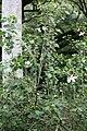 Kauai White Hibiscus (Hibiscus waimeae) Koki`o ke`oke`o. (2861576458).jpg