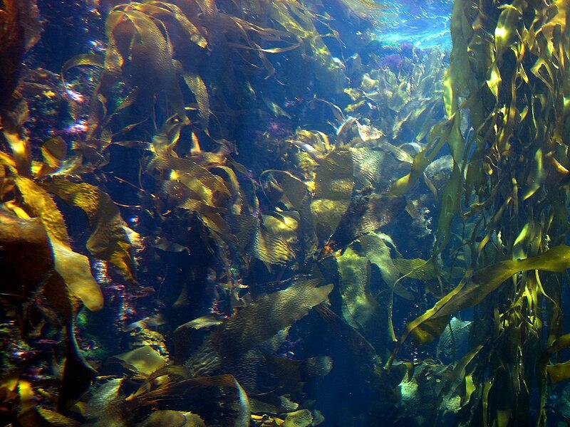 KelpforestI2500ppx.JPG