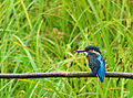 Kingfisher on look out!! (9326221109).jpg