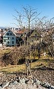 Klagenfurt Villacher Vorstadt Botanischer Garten Amur-Flieder 29012018 2515.jpg