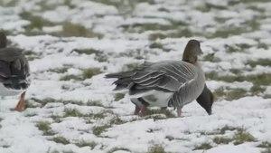 File:Kleine rietgans in de sneeuw-4961710.webm