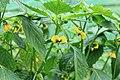 Kluse - Physalis philadelphica - Tomatillo 13 ies.jpg