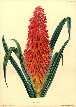 James Andrews (botanical artist) - Kniphofia uvaria L. The Illustrated Bouquet