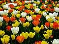 Kobierzec tulipanów - panoramio.jpg