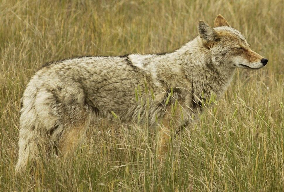 Kojote2010 cut