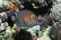 Kole Tang Fish.jpg