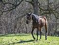 Konj Beljanica.jpg