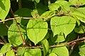 Korina 2011-05-14 Fallopia japonica 1.jpg