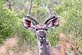 Kudu (3473019554).jpg