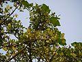 Kumpalam (Malayalam- കുമ്പളം) (5132806178).jpg