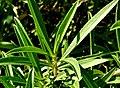 L Tarragon plant close-up photo.jpg