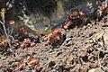 La Palma - Fuencaliente - Carretera General Las Caletas - Aeonium 03 ies.jpg