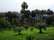 La Palma chilena (Jubaea Chilensis).JPG
