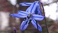 La siberia skilo 'scilo' (Scilla sibirica Haw.) 03.JPG