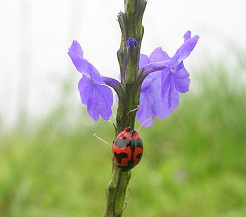 Ladybird beetle on Stachytarpheta indica at Ta...