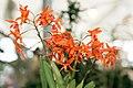 Laeliocattleya Taiwan Orange (Cattlianthe Trick or Treat x Schomburgkia lueddemanii) - Internationale Orchideen- und Tillandsienschau Blumengärten Hirschstetten 2016.jpg