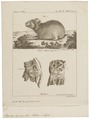 Lagomys alpinus - 1700-1880 - Print - Iconographia Zoologica - Special Collections University of Amsterdam - UBA01 IZ20600161.tif