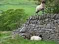 Lambs, High Ashgill - geograph.org.uk - 449404.jpg