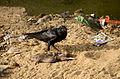 Large-billed crow feeding on rat carcass JEG6024.jpg