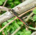 Large Red Damselfly. Pyrrhosoma nymphula. Young Male - Flickr - gailhampshire.jpg