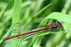 Large Red damselfly (Pyrrhosoma nymphula) male.jpg