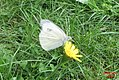 Large white (Ná) (15936248452).jpg