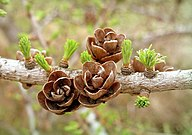 Larix laricina cones close-up.jpg