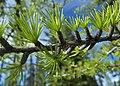 Larix occidentalis 8.jpg