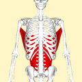 Latissimus dorsi muscle frontal2.png