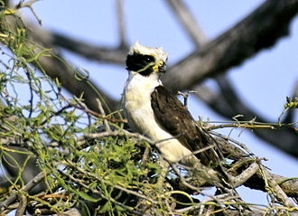 Falconidae - The laughing falcon is a snake-eating specialist