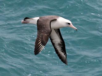 Laysan albatross - At Kilauea Point on Kauai, Hawaii
