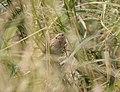 Le Conte's Sparrow, McCool's Pond, Indiana, September 29, 2012 (8039553395).jpg