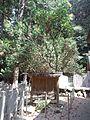 "Le Temple Shintô Niu-jinja - Le bois brut du camellia ""Ise-tsubaki"".jpg"