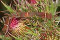 Leaf-footed Bug - Leptoglossus phyllopus, Long Pine Key, Everglades National Park, Homestead, Florida.jpg