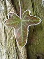 Leaf with frost on edges.jpg