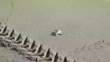 File:Leatherback baby turtle running to sea.webm