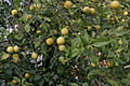 Lemon tree02.jpg