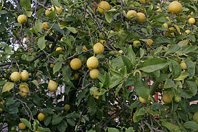 Description de l'image  Image:Lemon tree02.jpg .